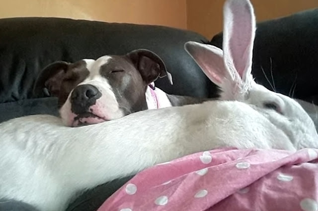 Pit Bull rescued from dog fighting finds friendship with rabbit