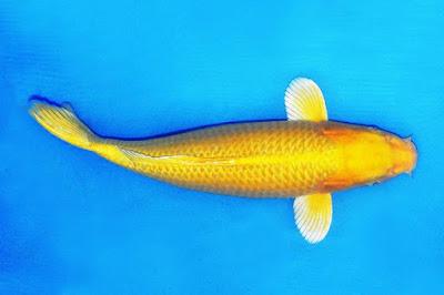 Ikan Koi Ogon