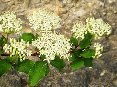 Cornejo (Cornus sanguínea) flor silvestre blanca
