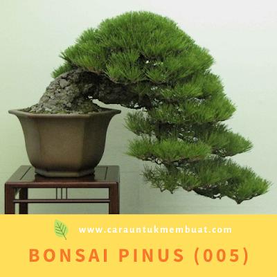 Bonsai Pinus (005)