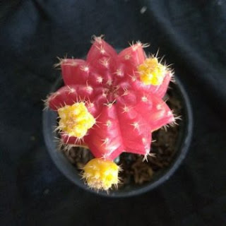 jual-kaktus-gymno.jpg