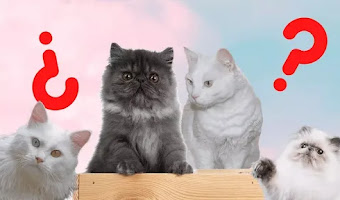 6 Diferencias entre el gato angora y el gato persa