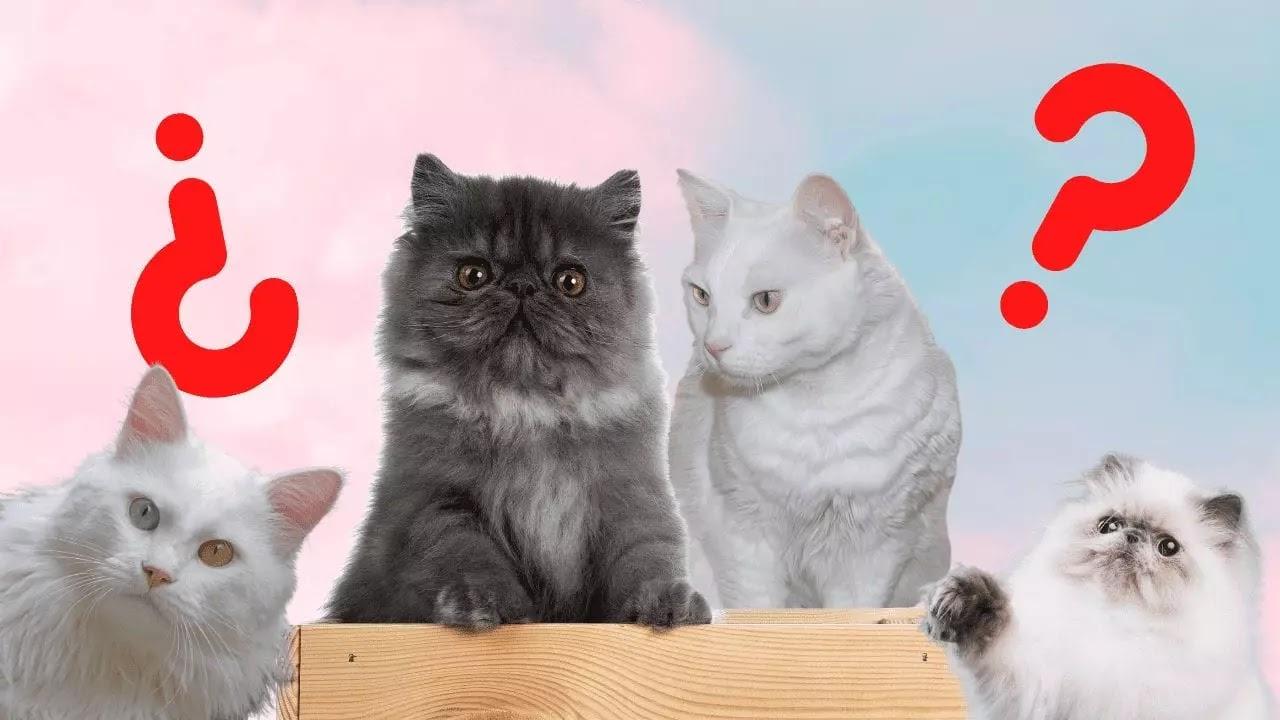 Diferenciar a un gato persa