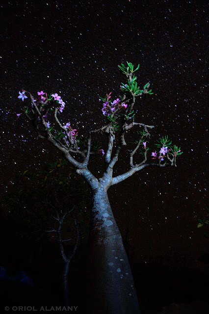 Rosa del Desierto de Socotra Adenium obesum sokotranum Isla de Socotra Yemen