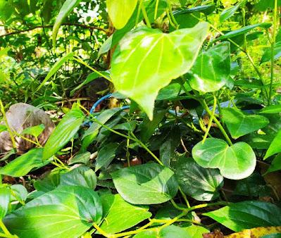 Tanaman sirih tanaman banuak  manfaat