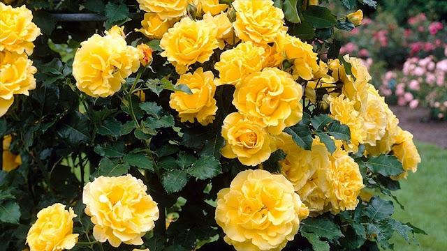Hoa hồng vàng 1