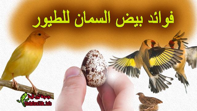 فوائد بيض السمان للطيور الكناري والحسون