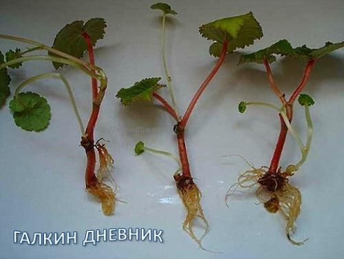 Комнатные растения. Черенкование.