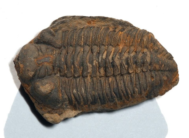Reconstruction of trilobite ancestral range in the southern hemisphere