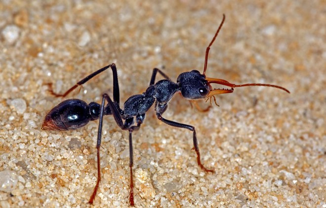 Most Dangerous Ant of the World - May be living at your Home