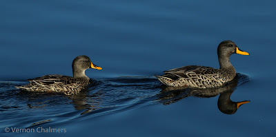 Yellow-billed Duck Milnerton Lagoon / Woodbridge Island