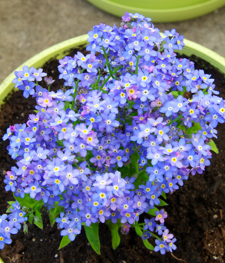 Sweet Forget Me Nots In A Container