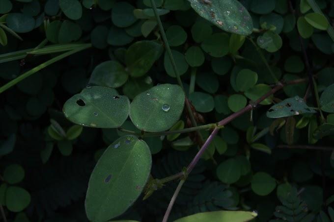 Embun Pagi diatas daun