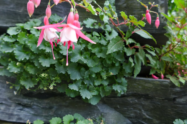 fushia terra botanica