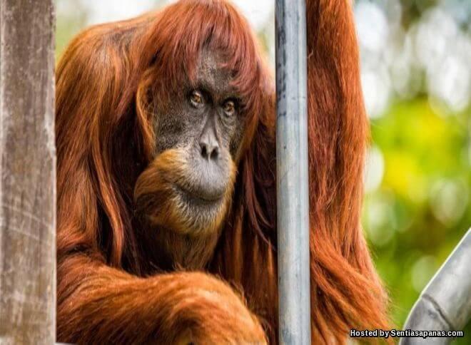 Puan, Orang Utan Paling Tua Di Dunia Mati Di Zoo Australia