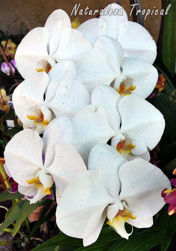 Variedad blanca de la flor de una orquídea Mariposa, género Phalaenopsis