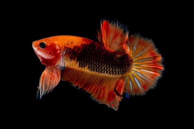 7 Jenis Ikan Cupang Hias Yang Recomended Jadi Koleksi di Rumah