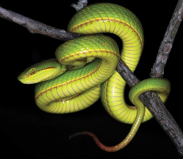 Cientistas descobrem nova espécie de serpente e a batizam em homenagem a Salazar Sonserina | Ordem da Fênix Brasileira