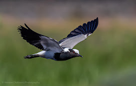Blacksmith Lapwing in Flight at Woodbridge Island