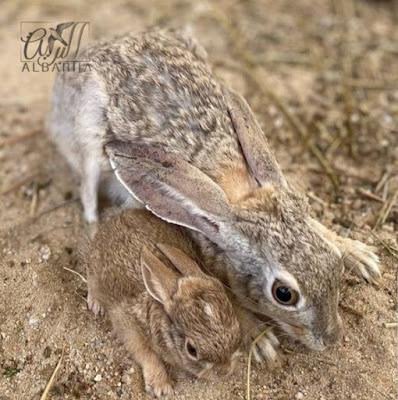 الارنب البري - Jackrabbit 