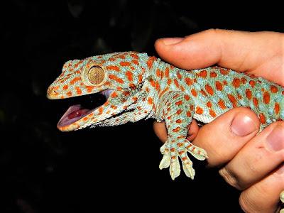 domar gecko tokay