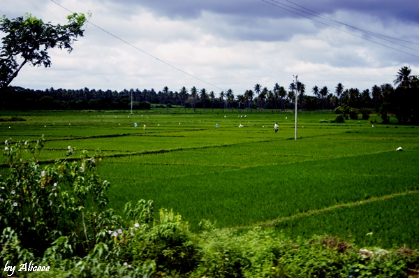 terase-de-orez-India