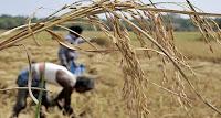 Madhya Pradesh tops wheat procurement in country