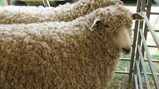 Lincoln Sheep Disadvantages, Advantages, Facts, Price