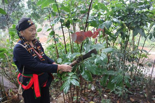 Bà Triệu Thị Thanh hái lá trong vườn thuốc nam của gia đình.