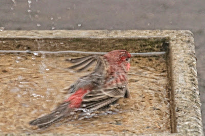 """This image features a male House finch in a cement bird bath that is on my garden floor. He is lying (albeit splashing) on his breast with his back to us but the right side of his face and one of his eyes can be seen. His his right wing is in the water and his left wing is raised ever so slightly. House finches are featured in volume one of my book series, """"Words In Our Beak.""""  Info re these books is in another post on my blog @ https://www.thelastleafgardener.com/2018/10/one-sheet-book-series-info.html"""