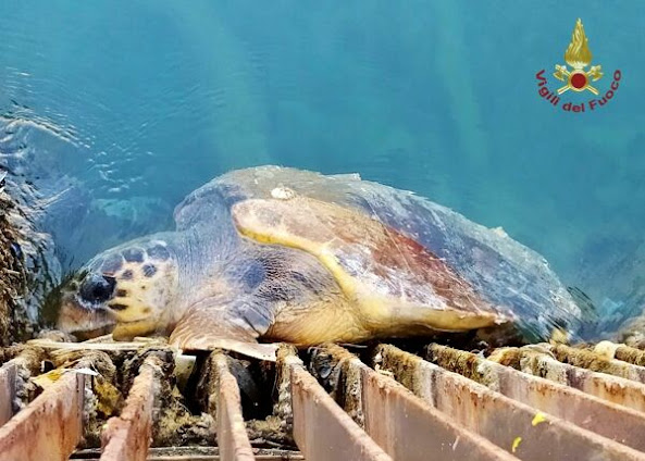 Brindisi: recuperata tartaruga in vasca Petrolchimico