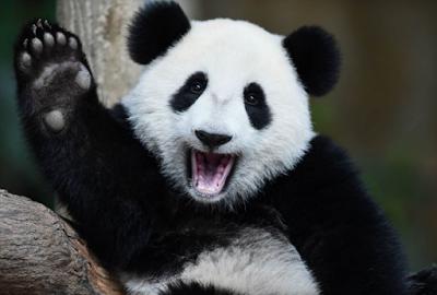 Panda, Deskripsi Panda, Informasi tentang Panda, Nama Ilmiah Panda, Klasifikasi Panda, Habitat Panda.