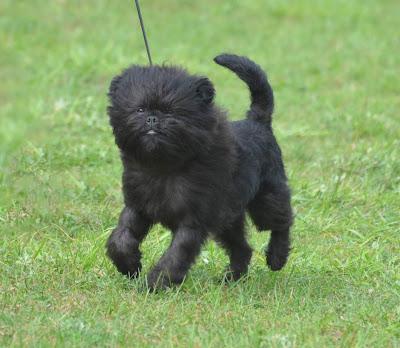 toy dog representative species, toy dog breeds