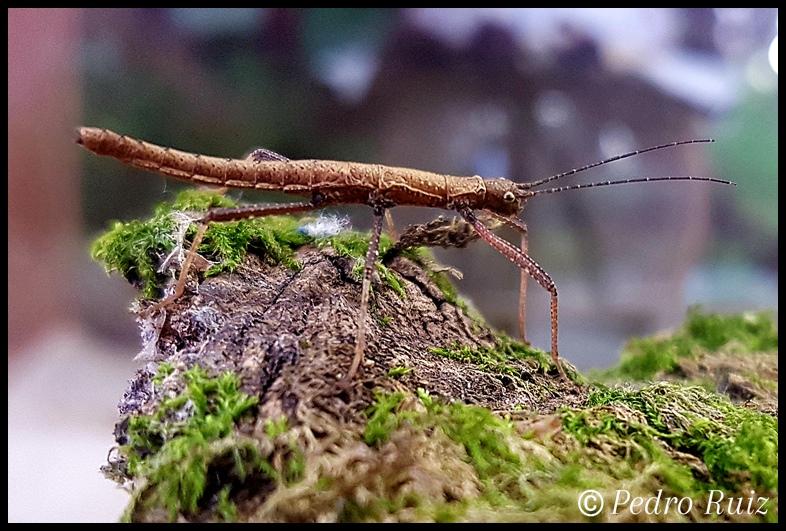 "Ninfa macho L3 de Pseudophasma scabriusculum ""Panguana"", 2,3 cm de longitud"