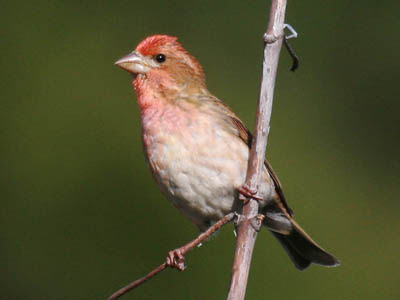 Photo of male Purple Finch on plant stalk