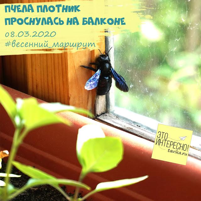 наблюдаем пчелу. фенологические занятия для детей