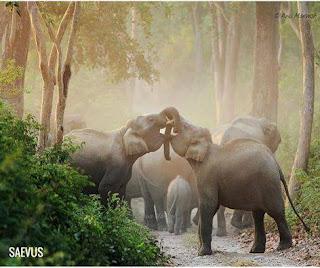 Foto. Na floresta parcialmente oculta pela neblina, uma manada de elefantes de cor marrom acinzentada está reunida em um estreito caminho com chão pedregoso. Em foco, dois elefantes de perfil, um de frente para o outro com as cabeças levemente para cima, entrelaçam as trombas formando uma ponte. Abaixo e um pouco afastado da dupla, um filhote de costas, acompanha os elefantes maiores. A manada segue ao longe sob a névoa translúcida. No canto inferior esquerdo em letras brancas maiúsculas,lê-se: Saevus. Tradução do Latim: Saevus = Feroz.