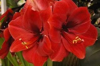 Цветок Алины красный амариллис