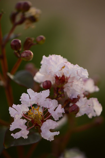 "Lagerstroemia ""Rhapsody in Pink"", crape myrtle, crepe myrtle, amy myers photography"