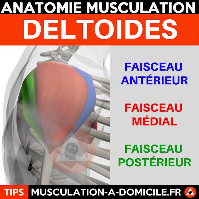 musculation à domicile anatomie des muscles delltoides épaules profil