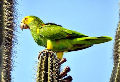 Amazona hombrogualda: Amazona barbadensis