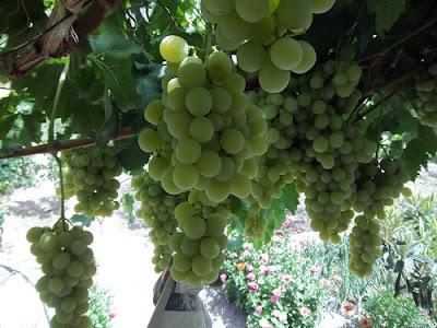 Uvas para siempre. Beires, Almería