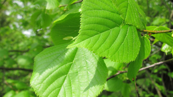 Spring tree pruning should never be performed on some species like elm