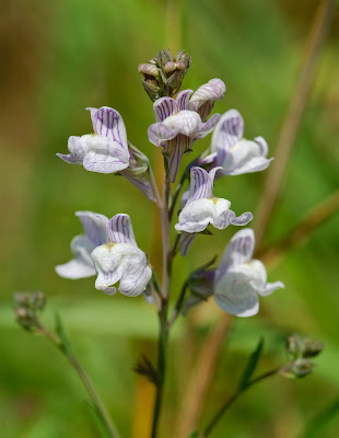 Pale Toadflax Linaria repens