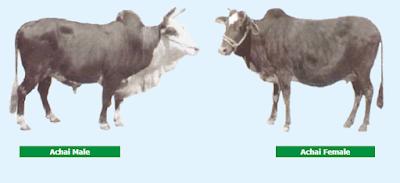 achai cattle