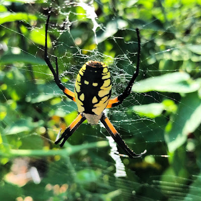 yellow and black spider in its web