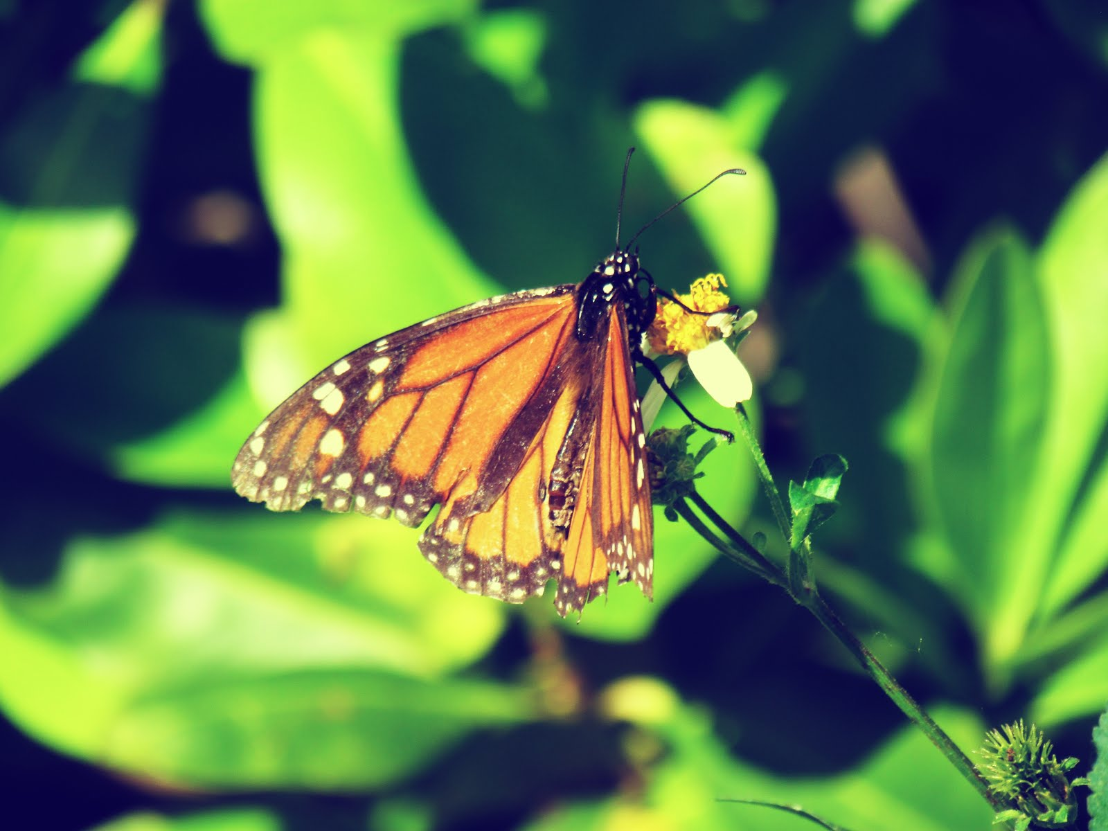 An orange monarch butterfly on a bed of blurred leaves in the backdrop of nature