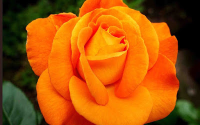 beautiful flowers images for Whatsapp dp