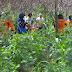 Tinggalkan Bakar Lahan, Penduduk Desa Beralih ke Pertanian Organic