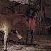Η νέα ζωή ενός αλόγου με τεχνητό πόδι...
